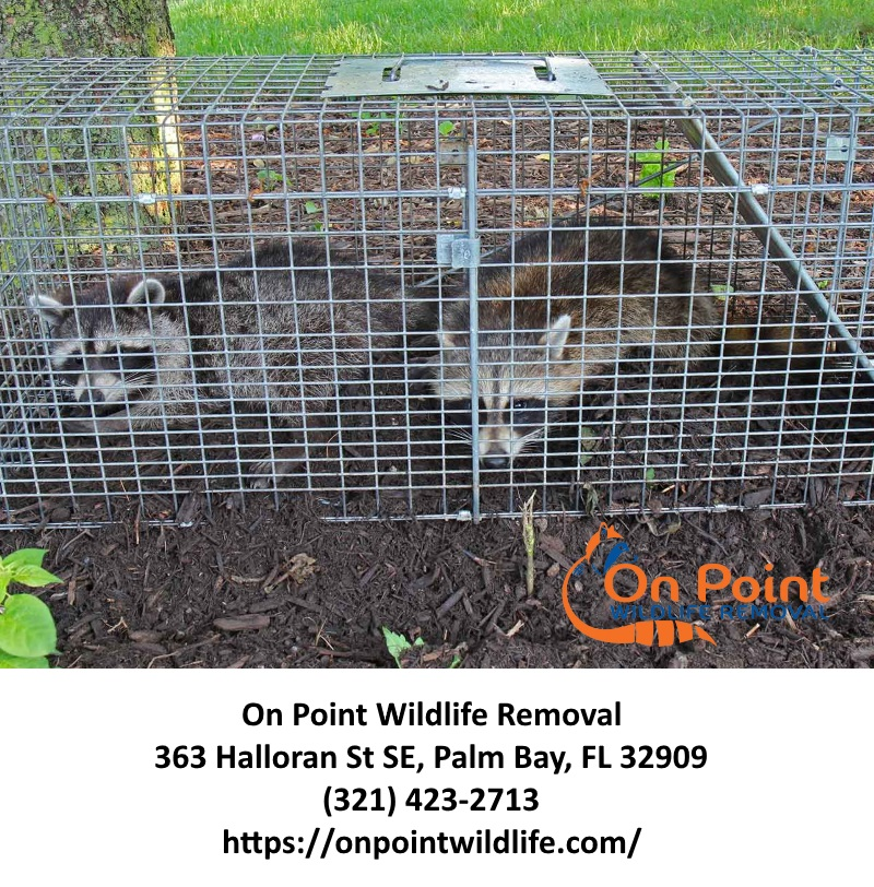 Raccoon Removal Services Melbourne FL